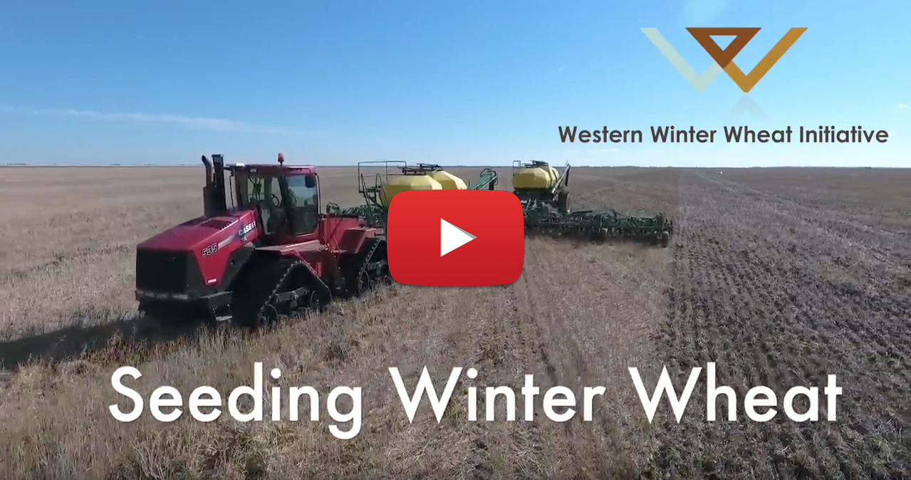 how to grow winter wheat in texas